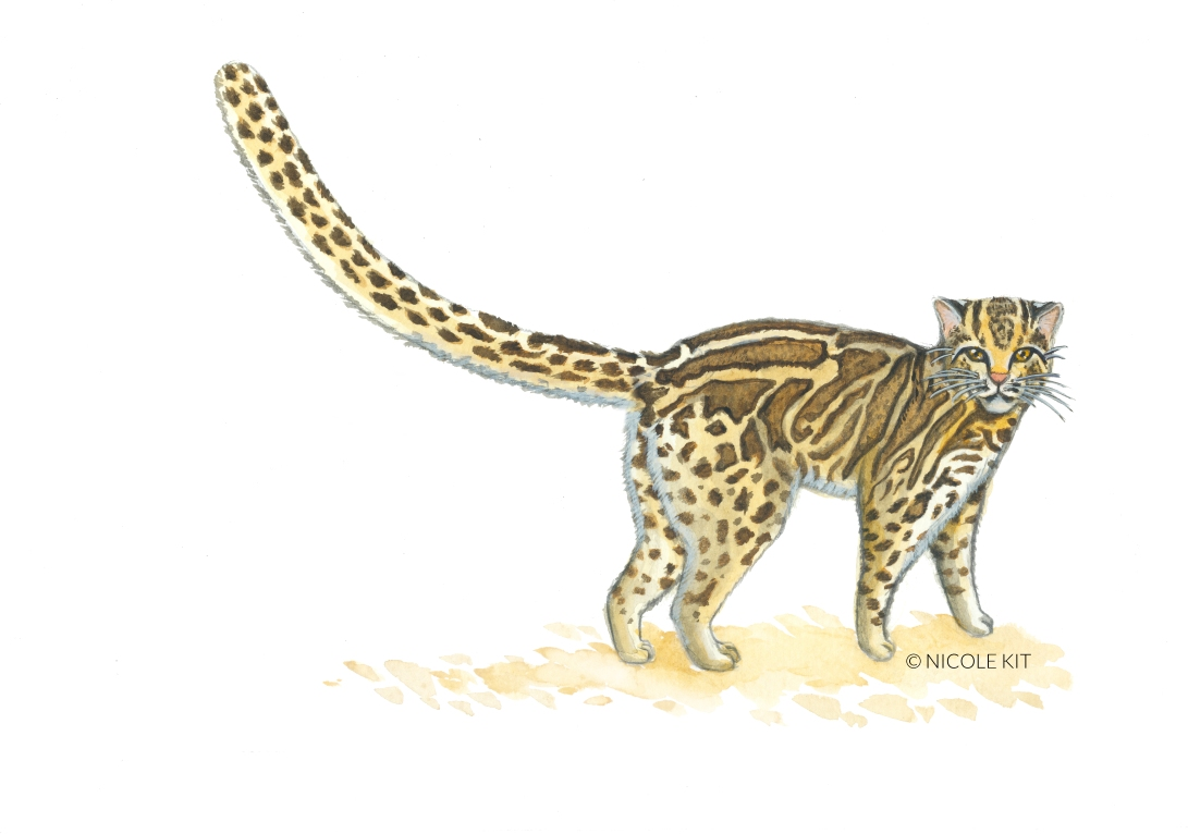marbled cat_watermark